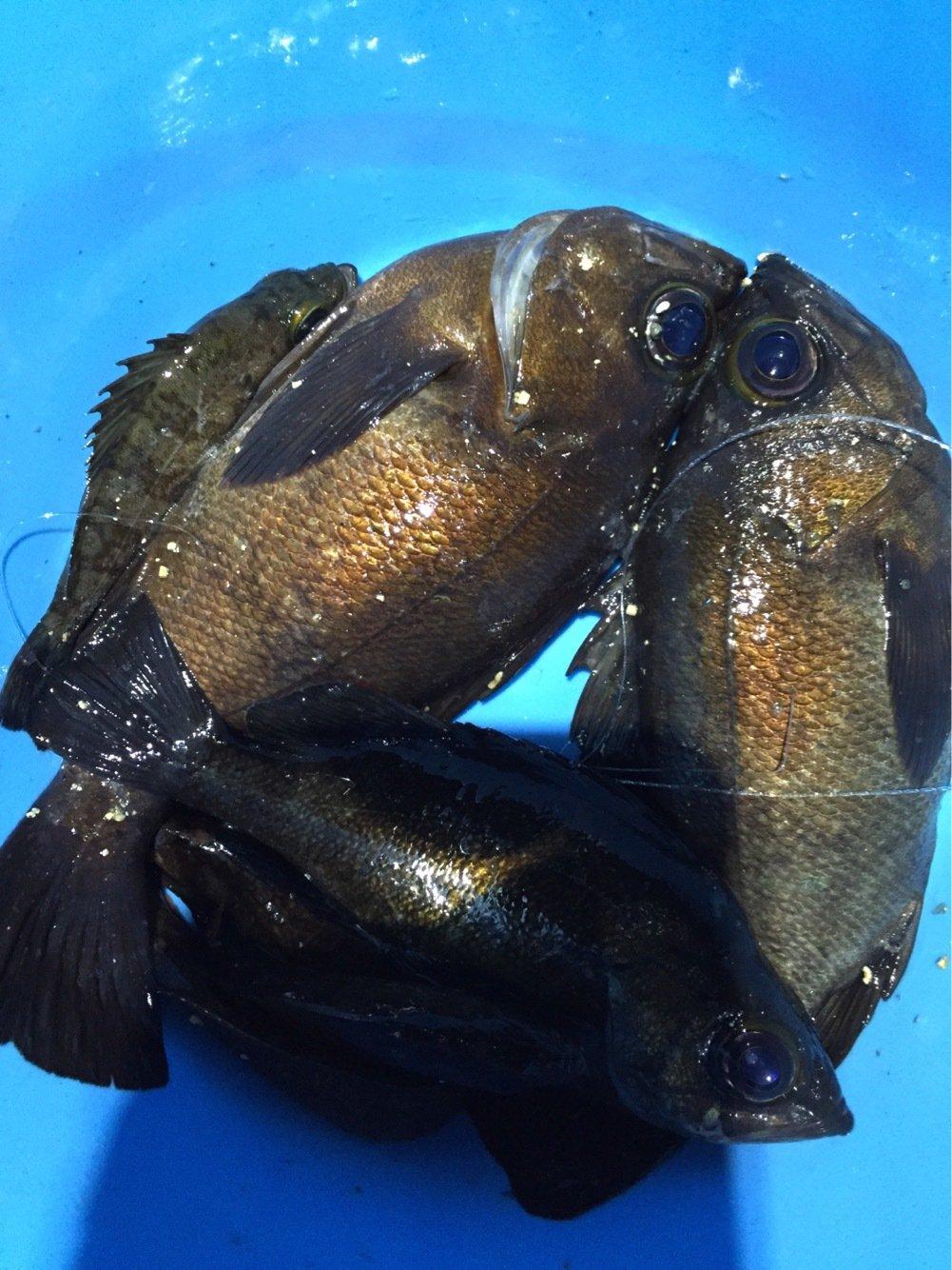 竜さんの投稿画像,写っている魚はメバル