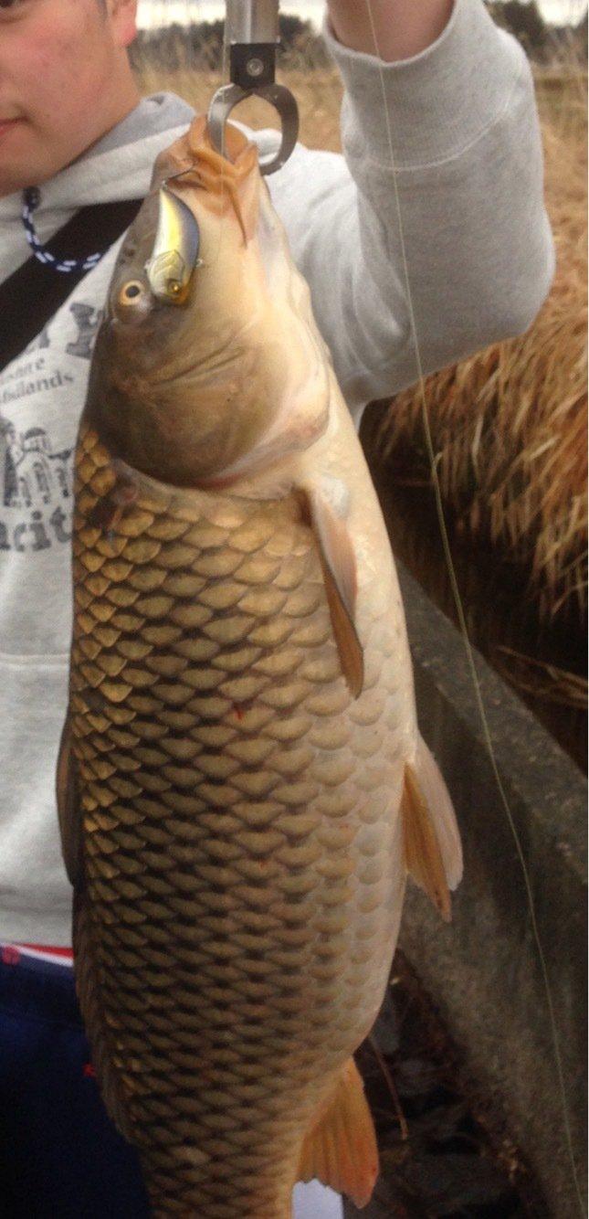 しょーごさんの投稿画像,写っている魚はコイ