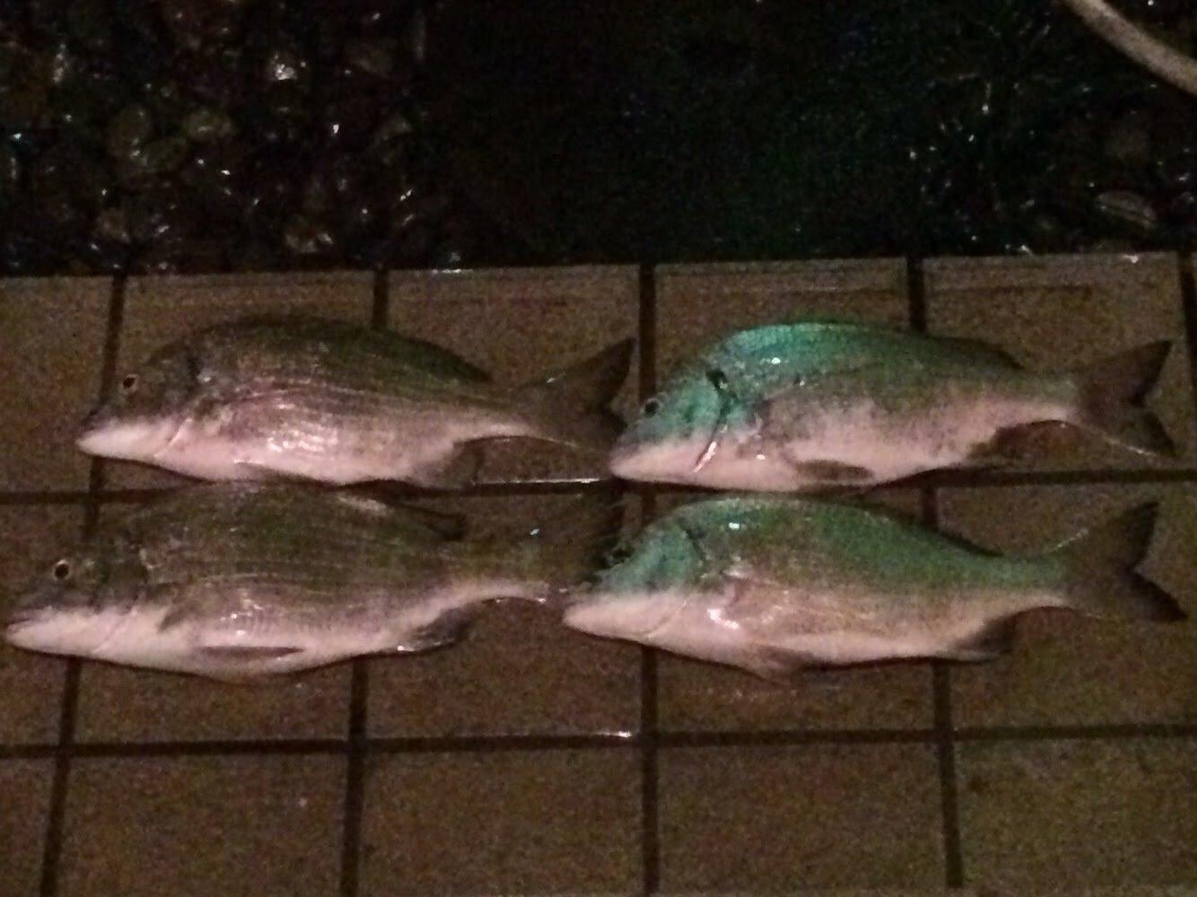 とよひでさんの投稿画像,写っている魚はクロダイ