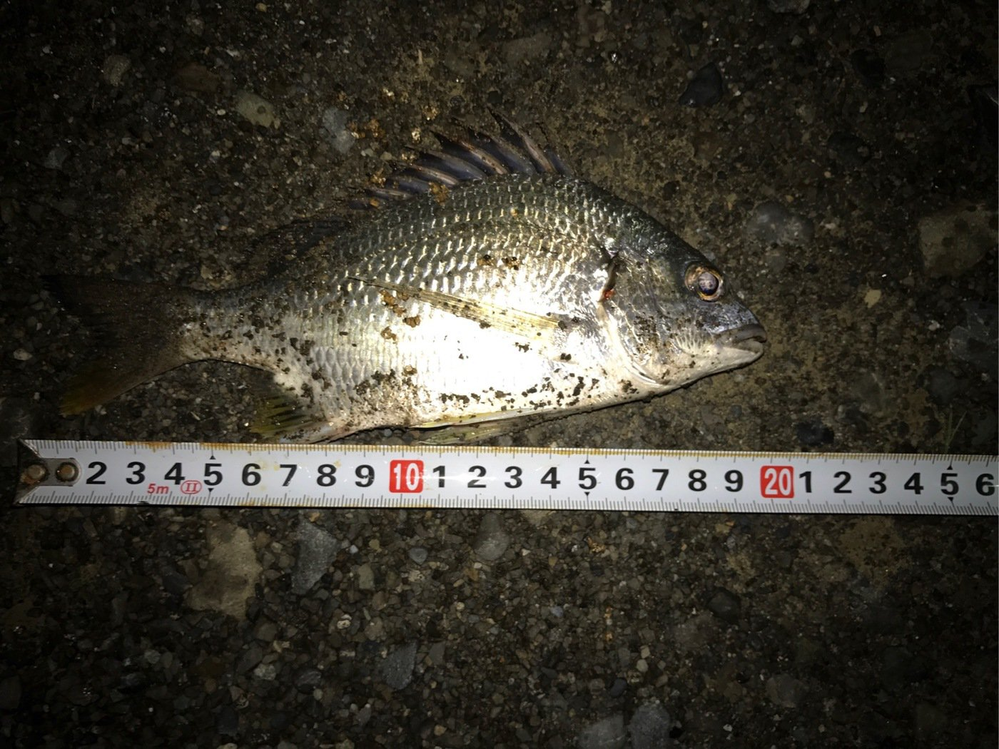 Macさんの投稿画像,写っている魚はキチヌ