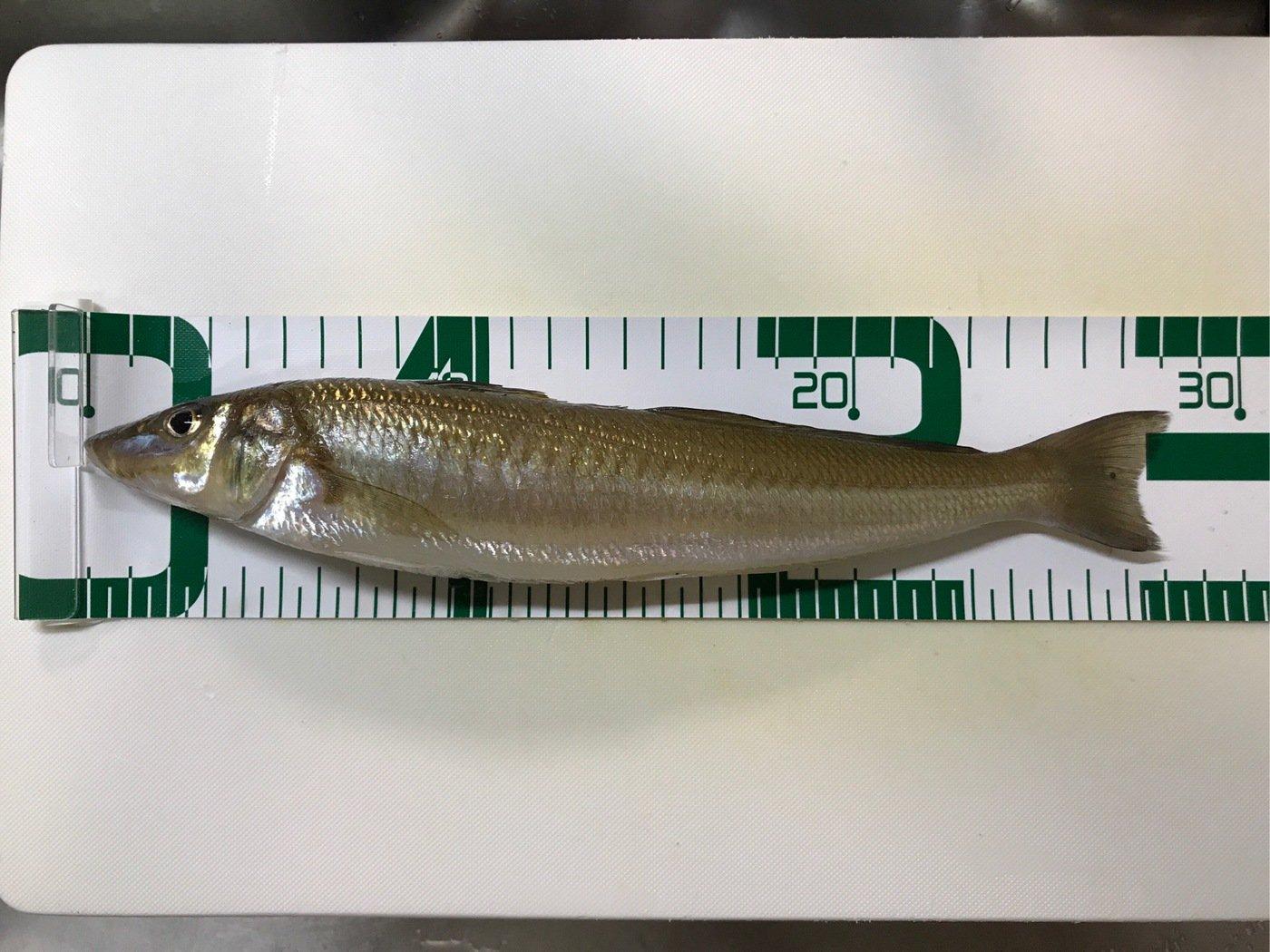 ドカさんの投稿画像,写っている魚はシロギス