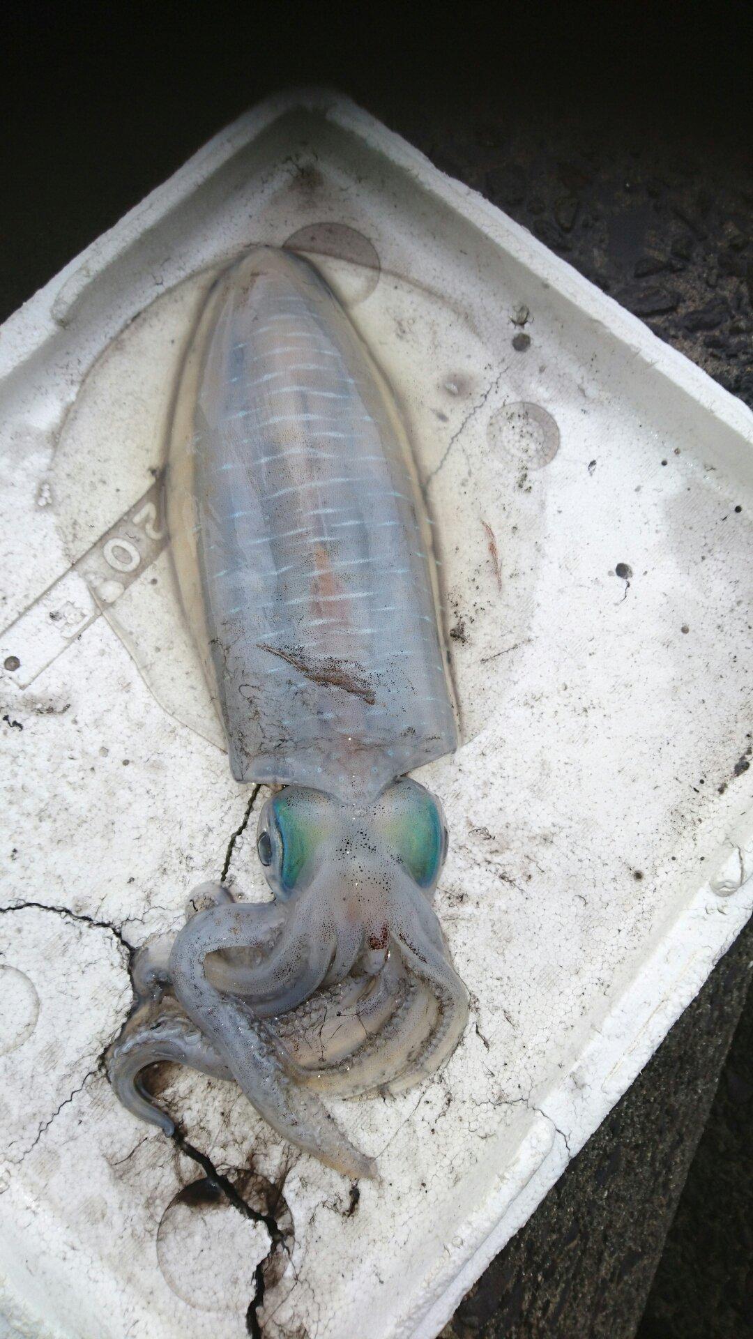 Naoさんの投稿画像,写っている魚はアオリイカ