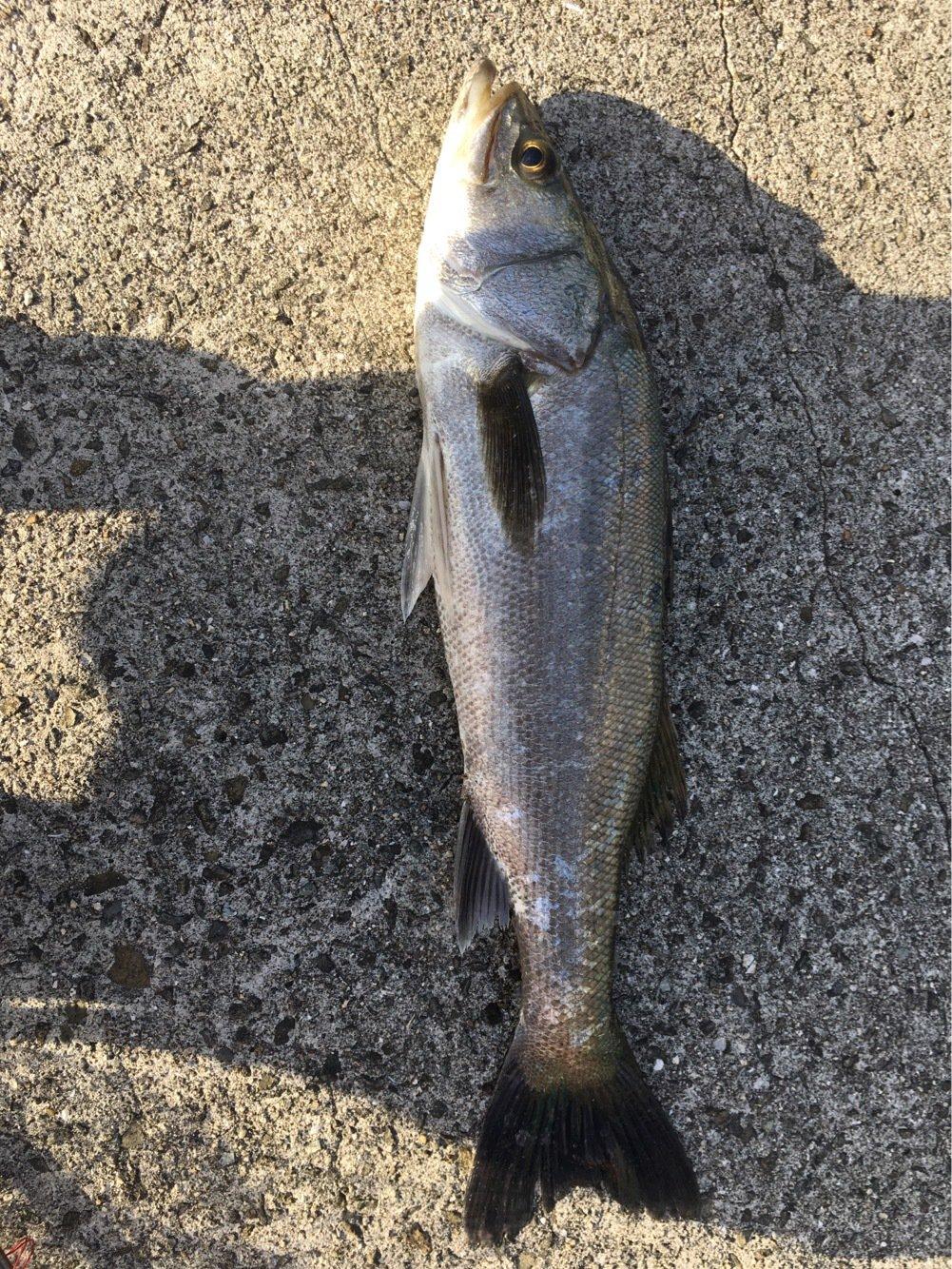 ベーちゃんさんの投稿画像,写っている魚はスズキ