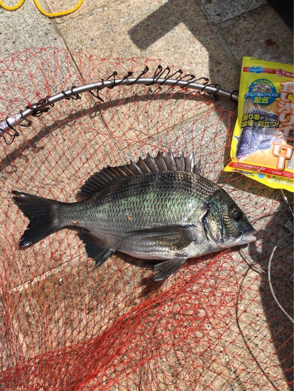 昭ちゃん 金賞コロッケ1号さんの投稿画像,写っている魚はクロダイ