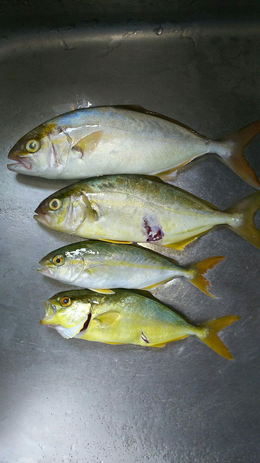 たーぽんさんの投稿画像,写っている魚はカンパチ