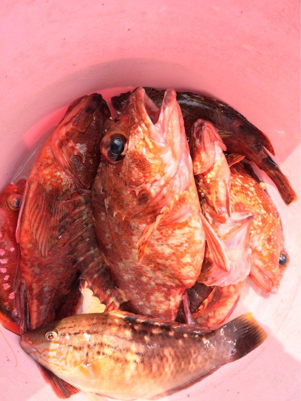 イナバーさんの投稿画像,写っている魚はアカカサゴ