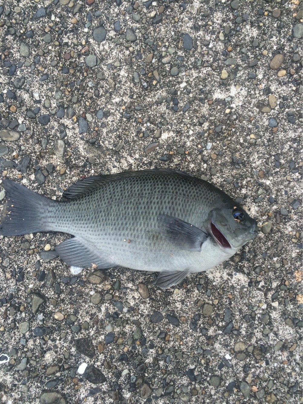 堤防釣りさんの投稿画像,写っている魚はメジナ