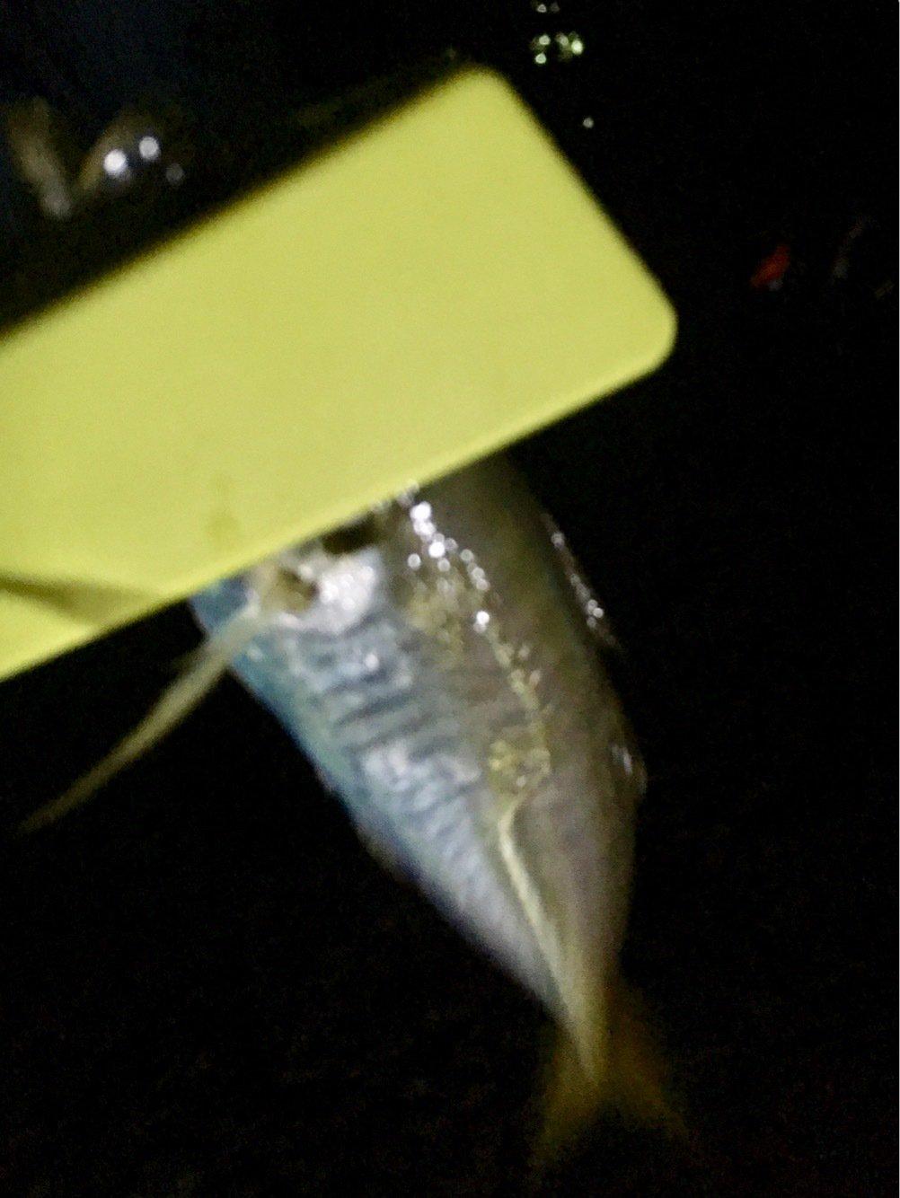 KAZU2100さんの投稿画像,写っている魚はアジ