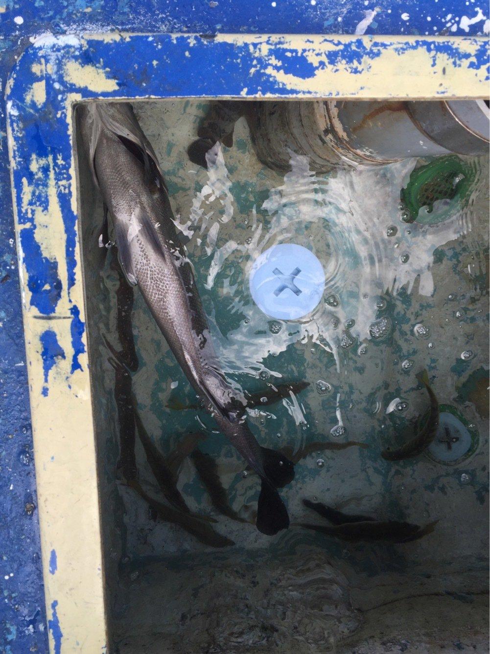 ヨシダさんの投稿画像,写っている魚は
