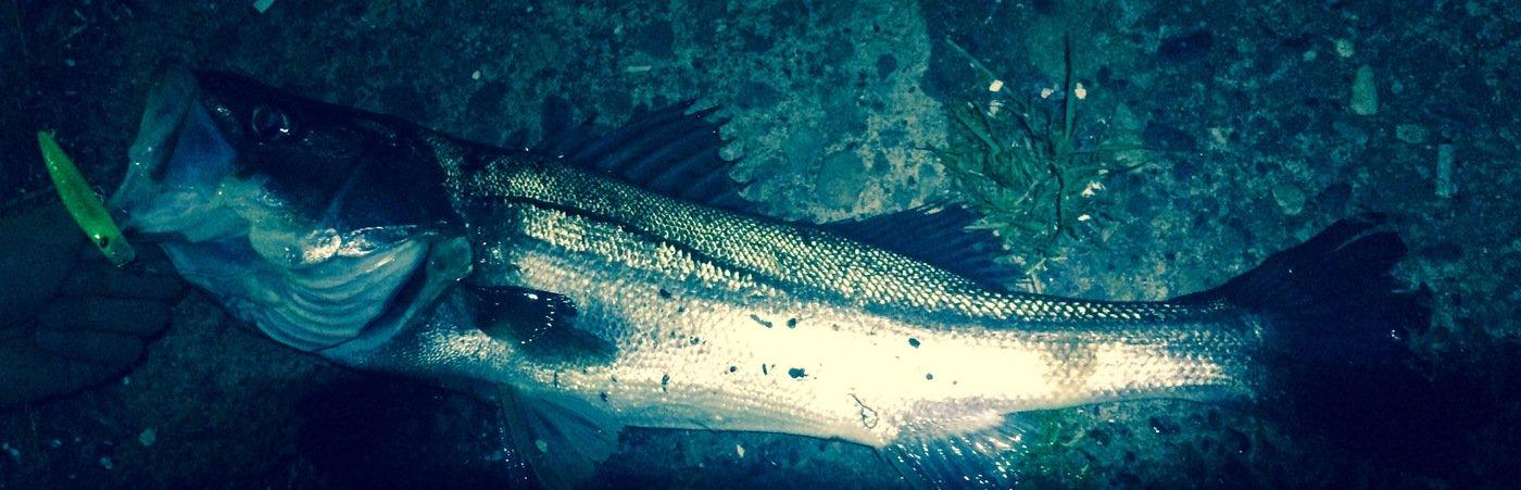 なべつねさんの投稿画像,写っている魚はスズキ