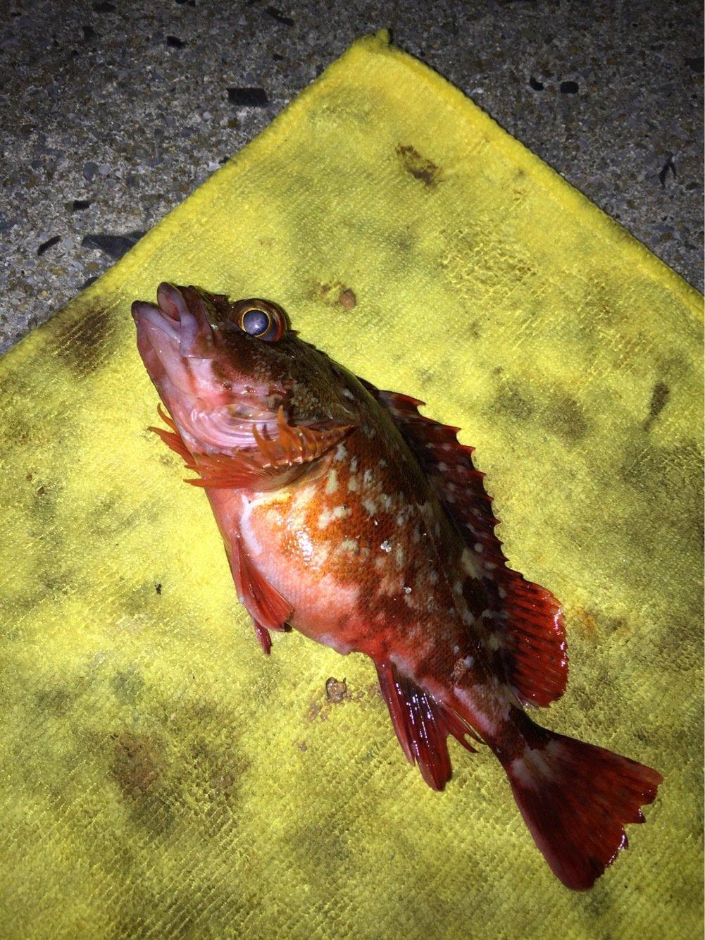 ヨッシーK2さんの投稿画像,写っている魚はカサゴ