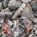 ちょろけんさんの長崎県松浦市でのカサゴの釣果写真
