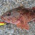 Kimisさんの鹿児島県出水郡でのカサゴの釣果写真