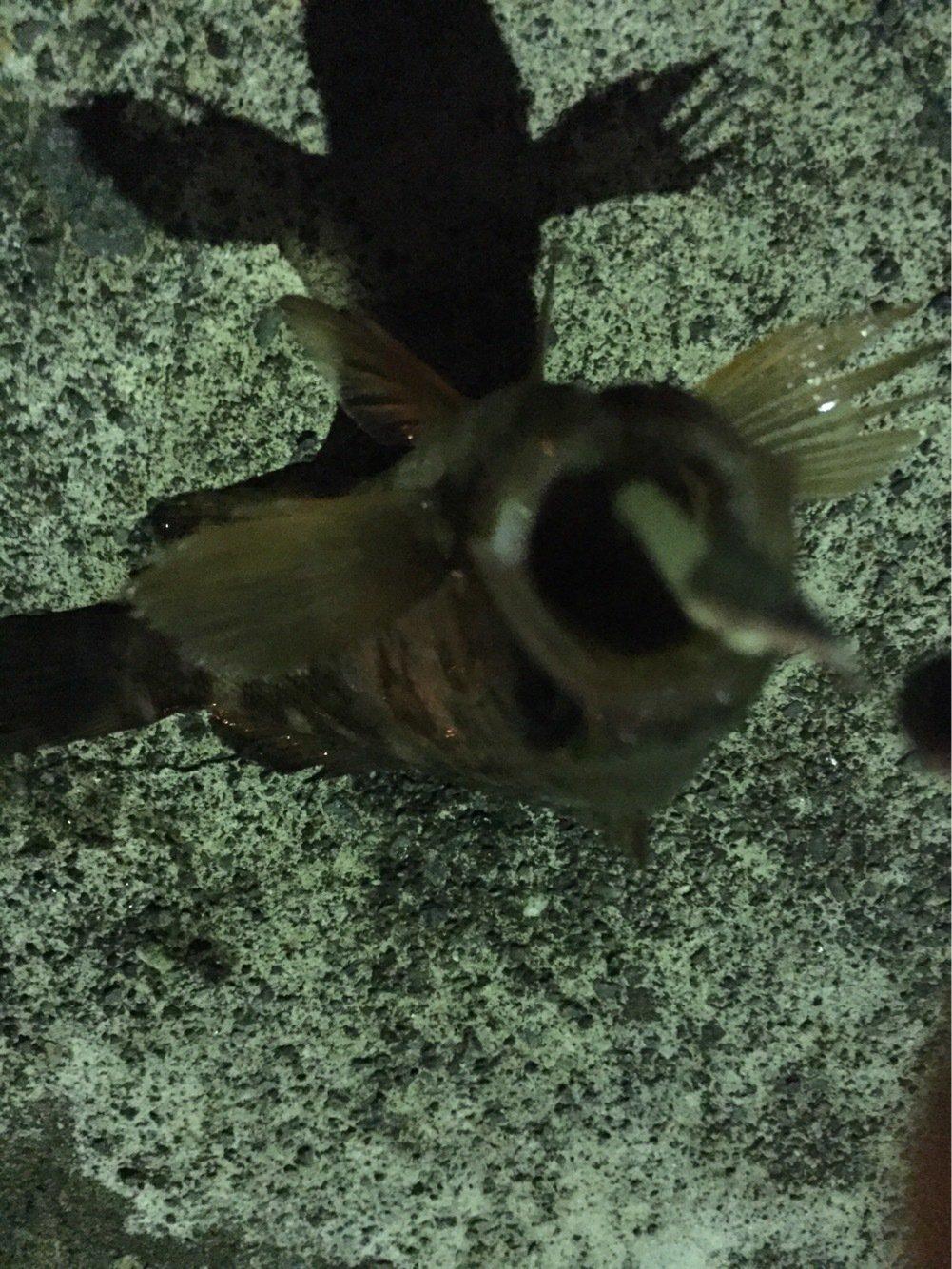 メバルさんの投稿画像,写っている魚はメバル