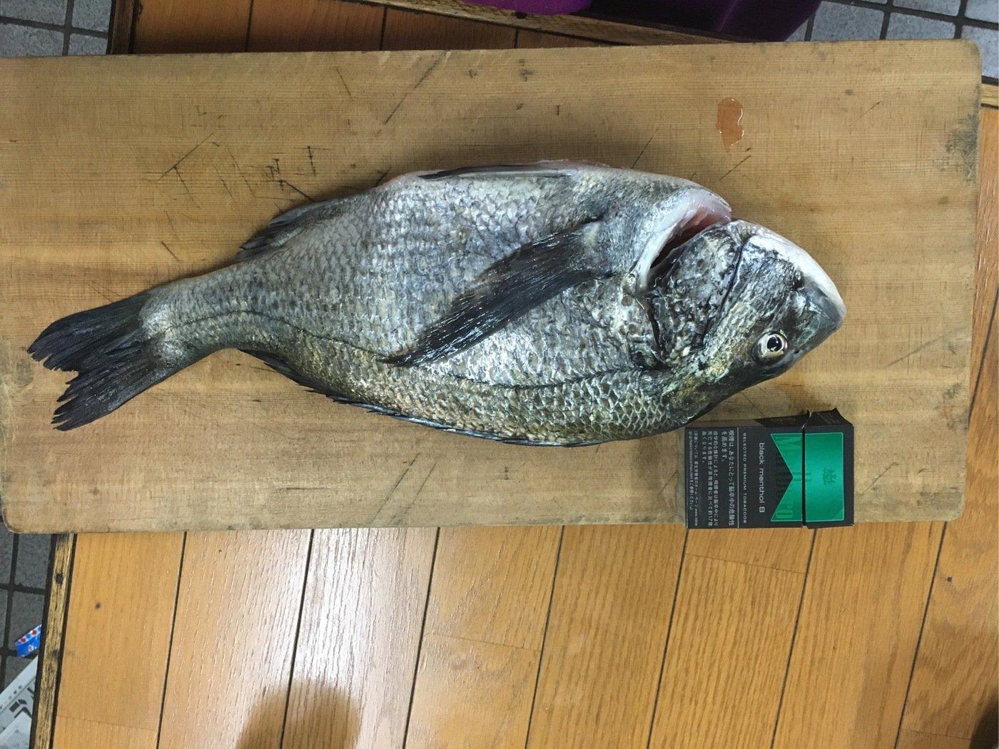 びーなさんさんの投稿画像,写っている魚はクロダイ