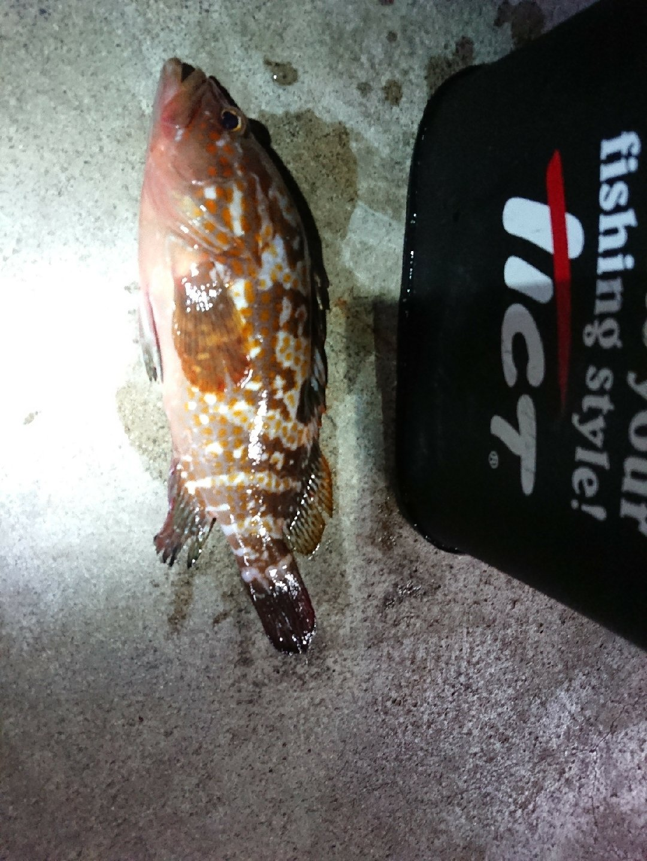 ジンさんの投稿画像,写っている魚はキジハタ