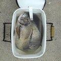 たつぽんさんの新潟県佐渡市でのクロダイの釣果写真