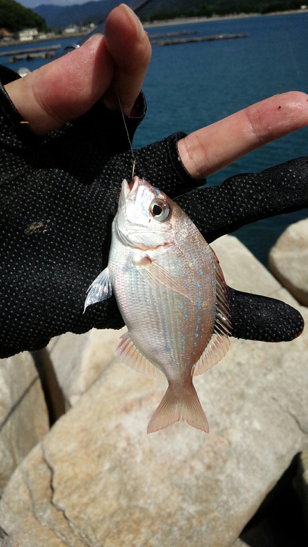 飛沫さんの投稿画像,写っている魚はマダイ
