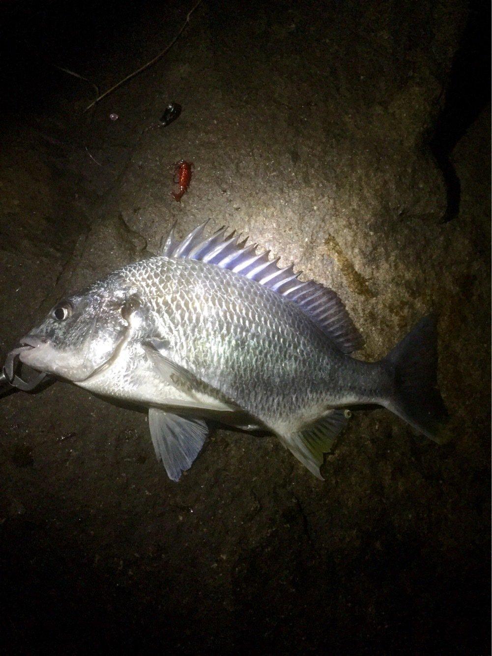 tksさんの投稿画像,写っている魚はキチヌ