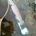 しょうさんの山形県西村山郡での釣果写真