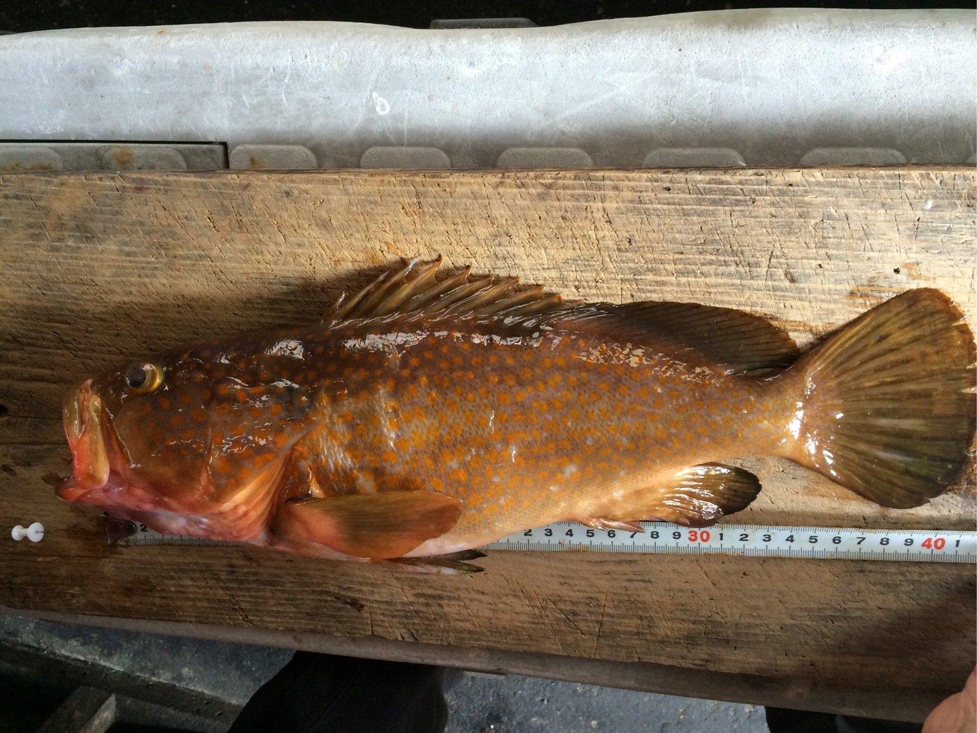 シーバスハンターさんの投稿画像,写っている魚はキジハタ