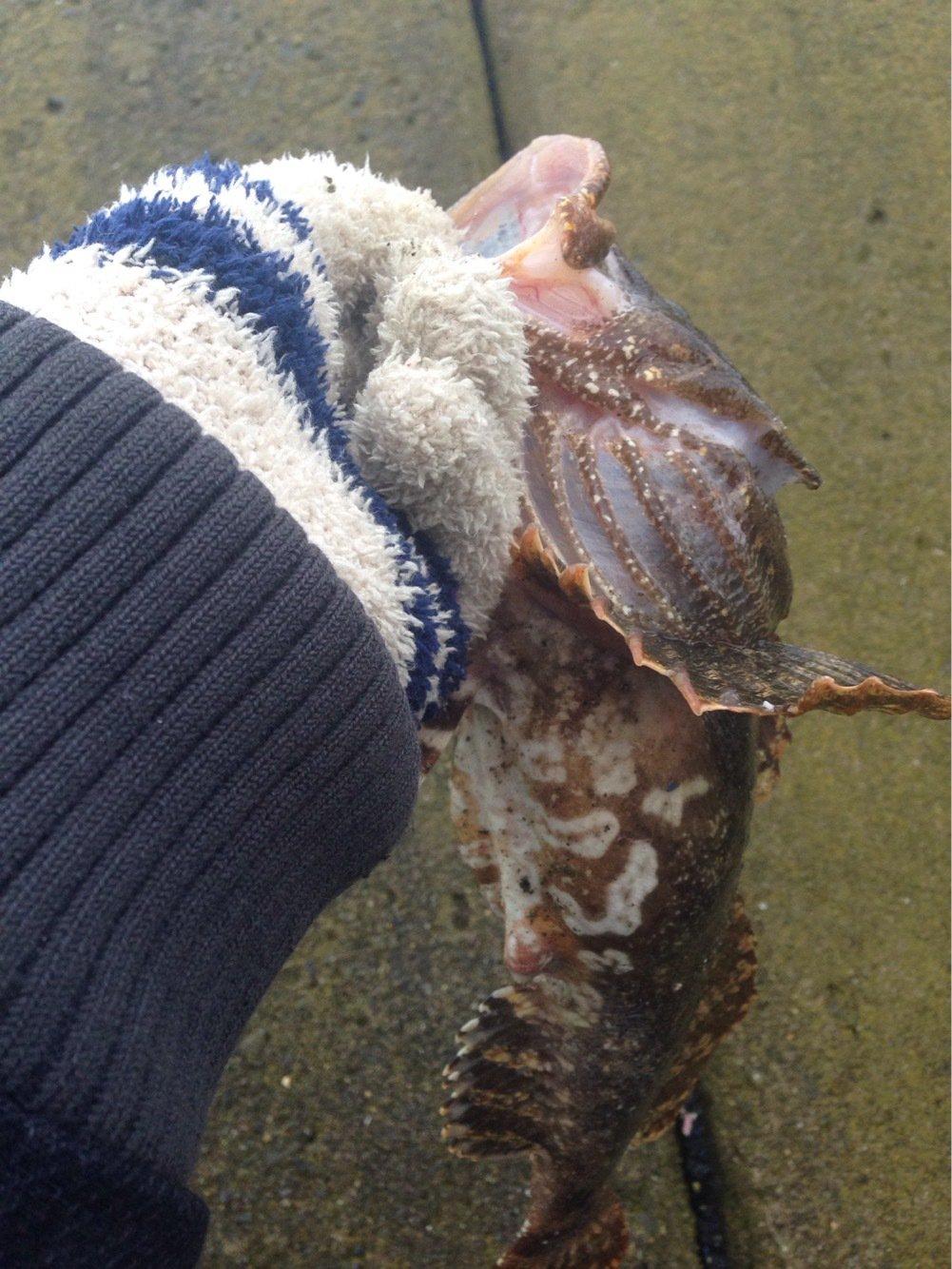 かめさんの投稿画像,写っている魚はギスカジカ