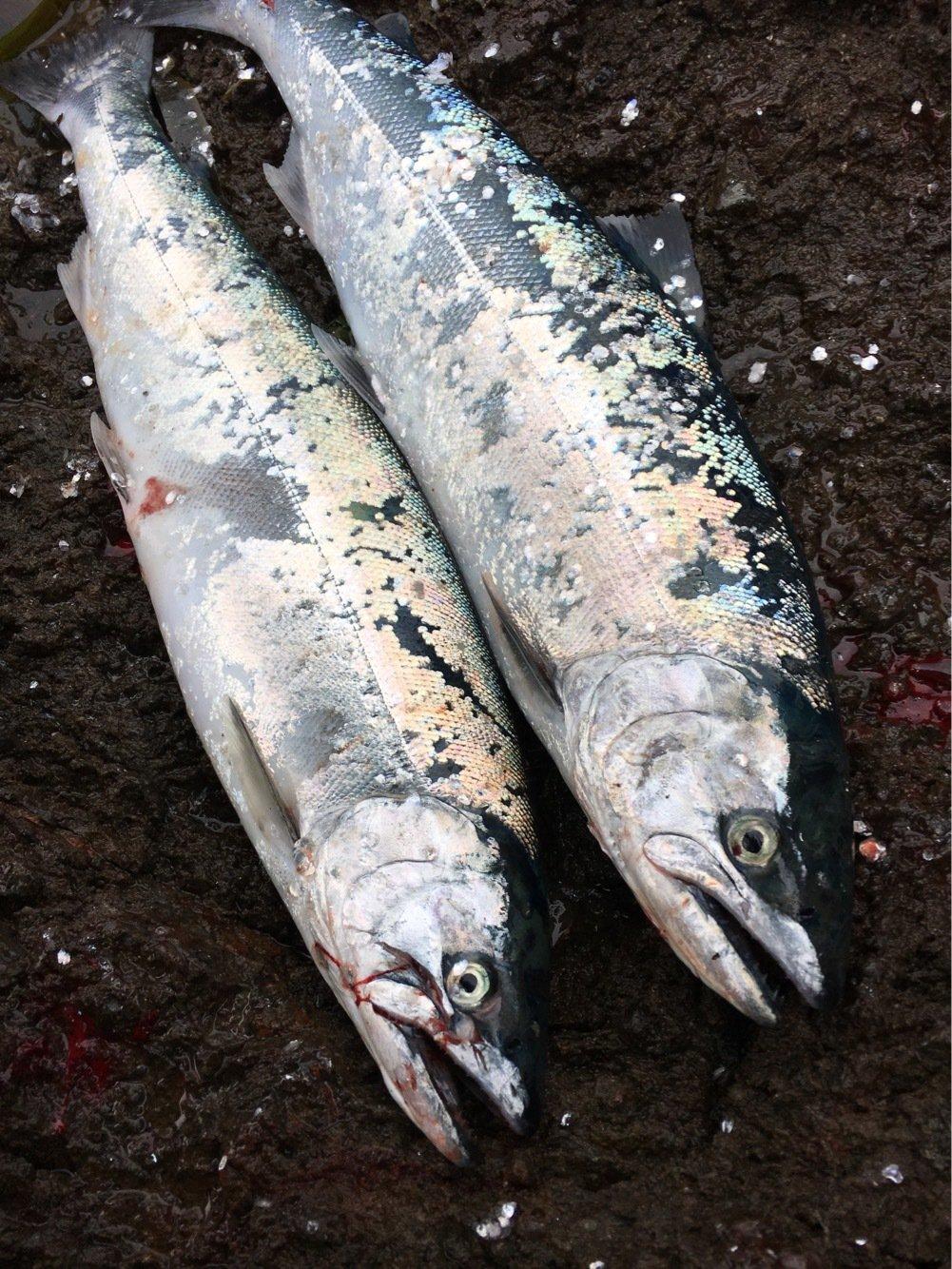 長次郎さんの投稿画像,写っている魚はサクラマス