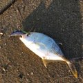 Yutyさんの宮崎県日南市でのロウニンアジの釣果写真