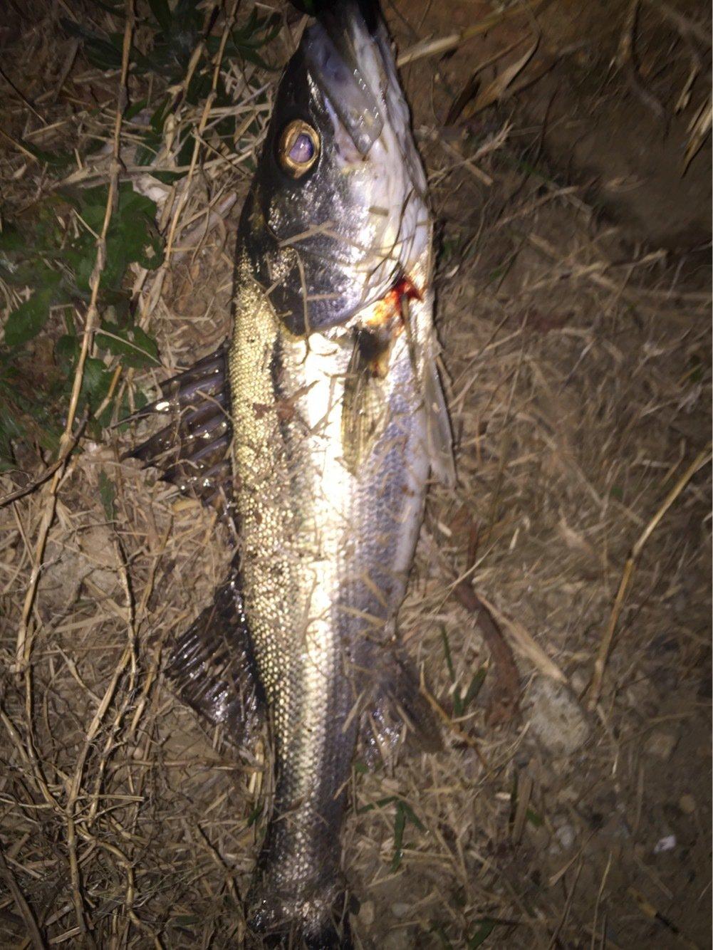 ゆうすけさんの投稿画像,写っている魚はスズキ