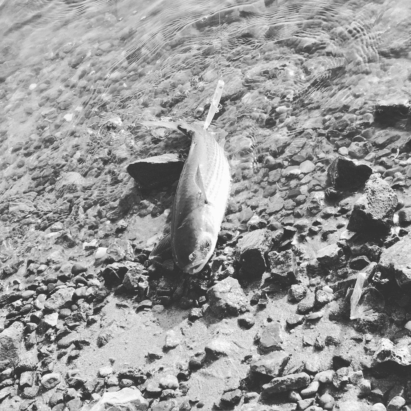 yucaさんの投稿画像,写っている魚はボラ
