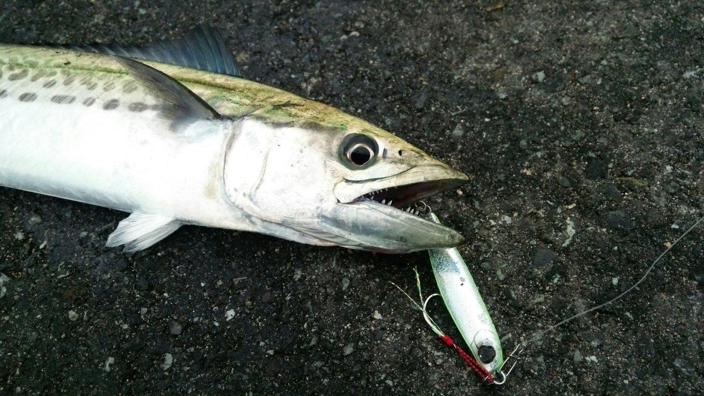 masa1205さんの投稿画像,写っている魚はサワラ