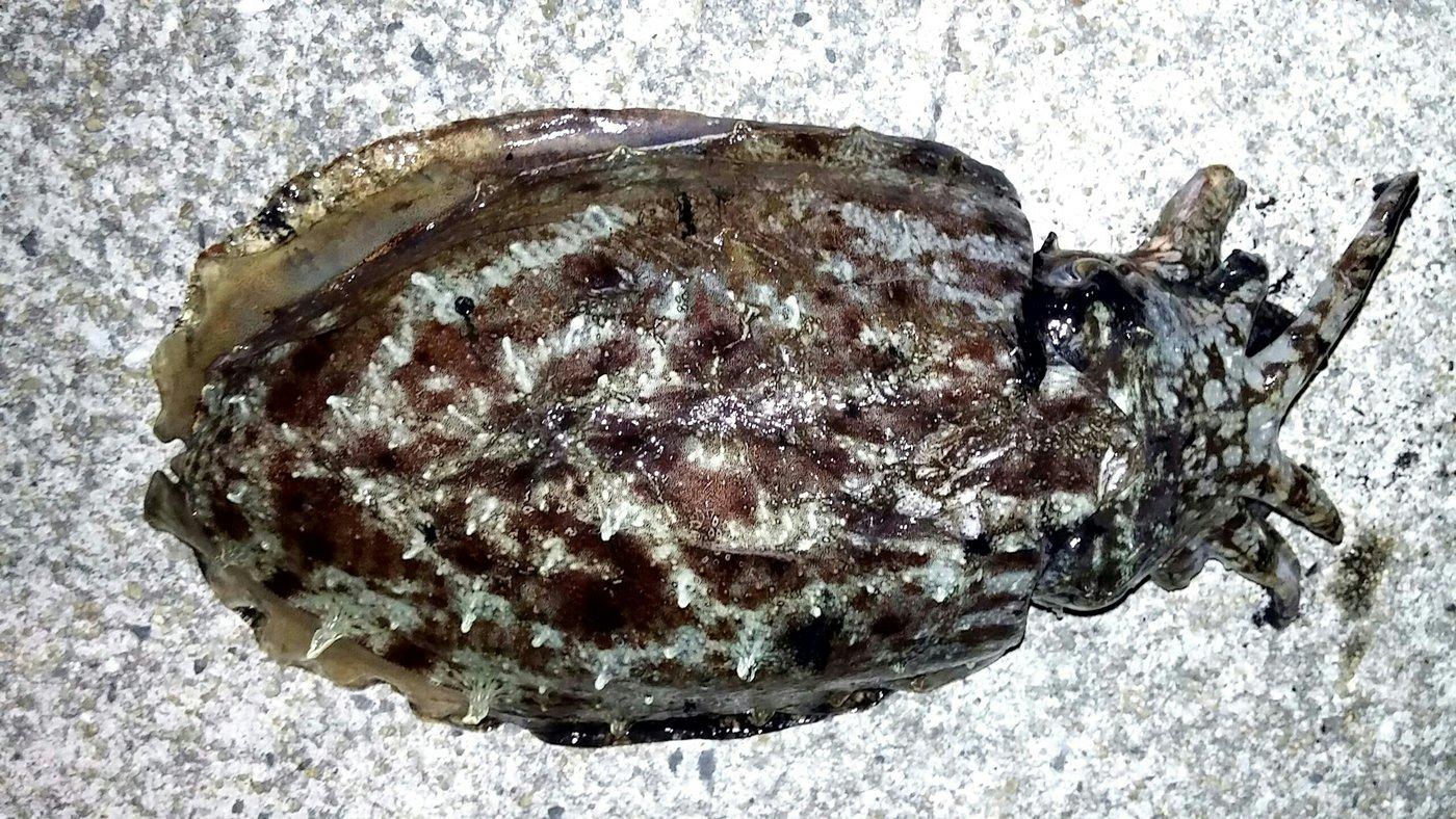 大崎の主さんの投稿画像,写っている魚はコウイカ