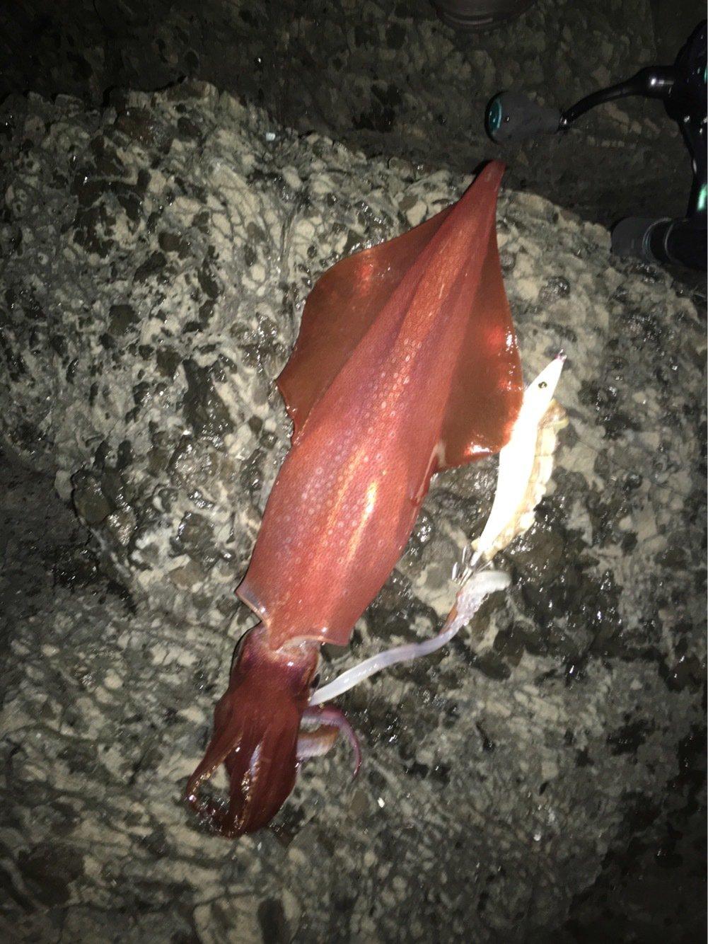 ゲンゴロウ(Team邪道)さんの投稿画像,写っている魚はヤリイカ