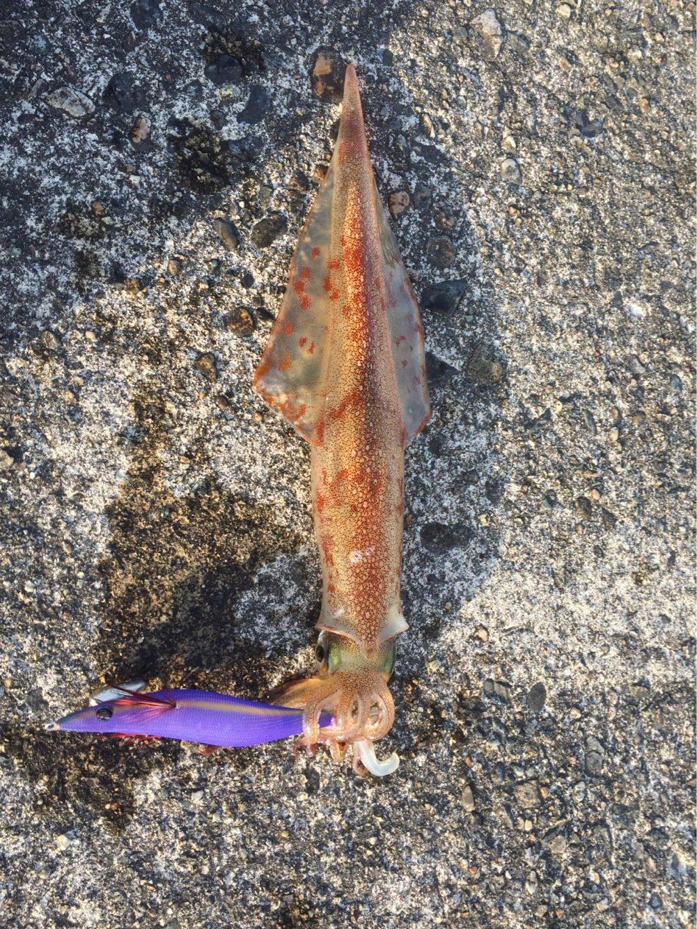 モコちゃんさんの投稿画像,写っている魚はヤリイカ