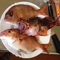 ケンタのパパさんの静岡県伊豆市でのカサゴの釣果写真