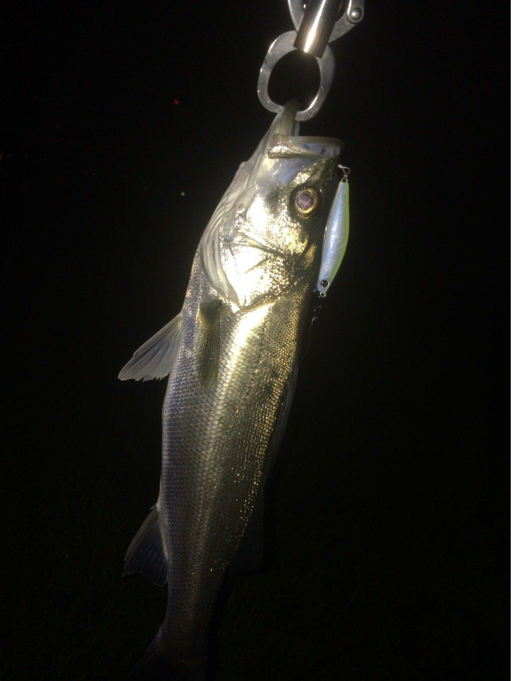 shimaneさんの投稿画像,写っている魚はスズキ