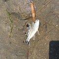 小物ハンターさんの宮崎県宮崎市でのコトヒキの釣果写真