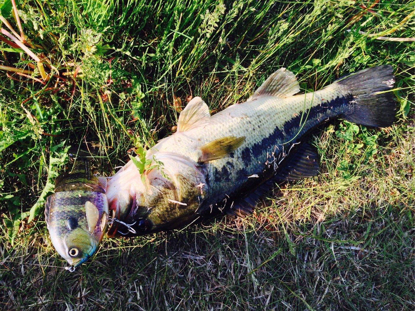 ぬこ好きさんの投稿画像,写っている魚はブラックバス