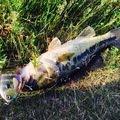 ぬこ好きさんの新潟県妙高市での釣果写真