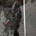 さっとさんの北海道釧路市でのクロソイの釣果写真