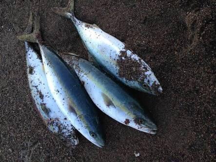 しみしょうさんの投稿画像,写っている魚はブリ