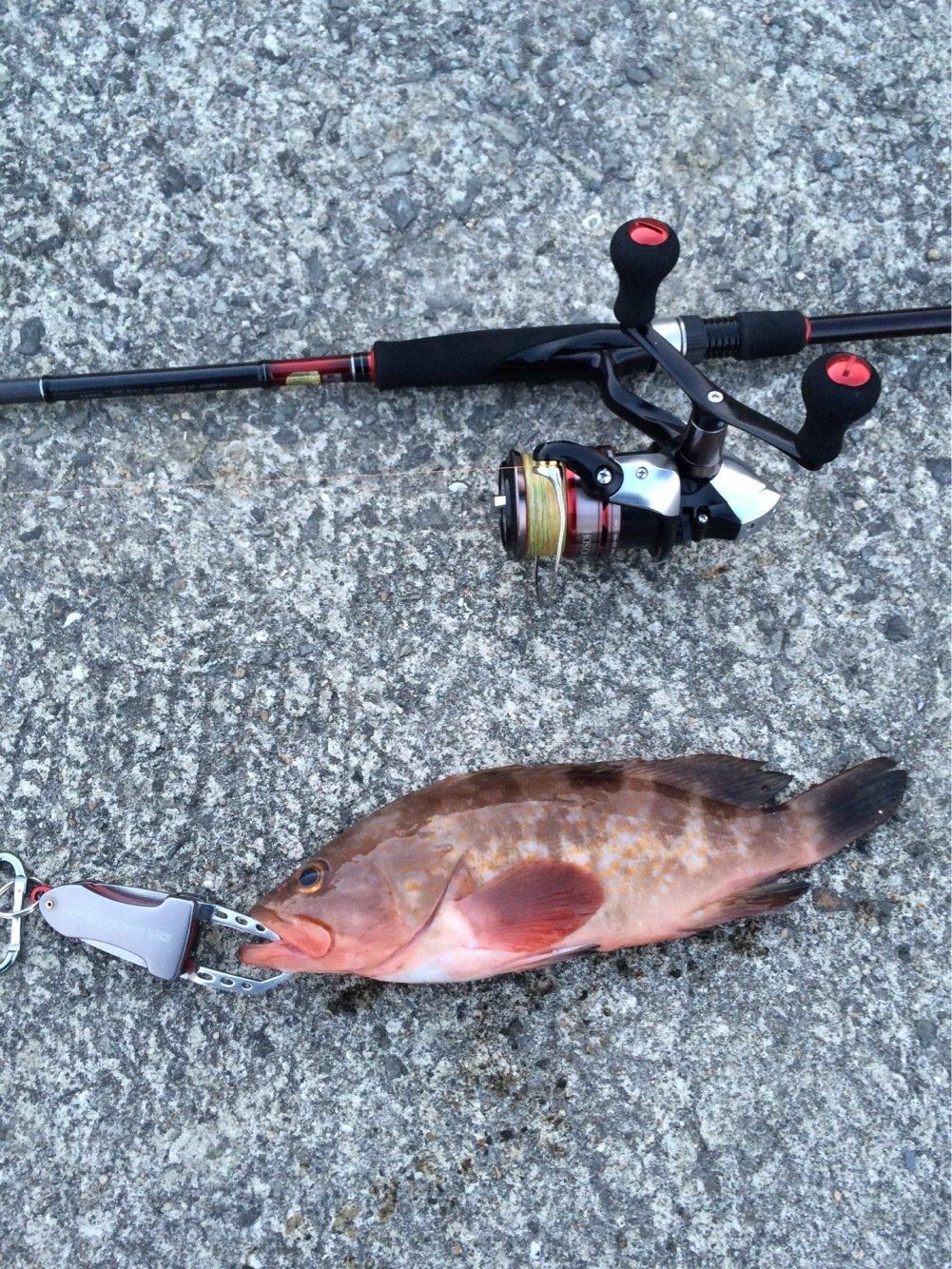 よしさんの投稿画像,写っている魚はキジハタ