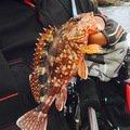 あさんの静岡県賀茂郡でのカサゴの釣果写真