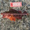 ヌク太郎さんの静岡県下田市でのカサゴの釣果写真