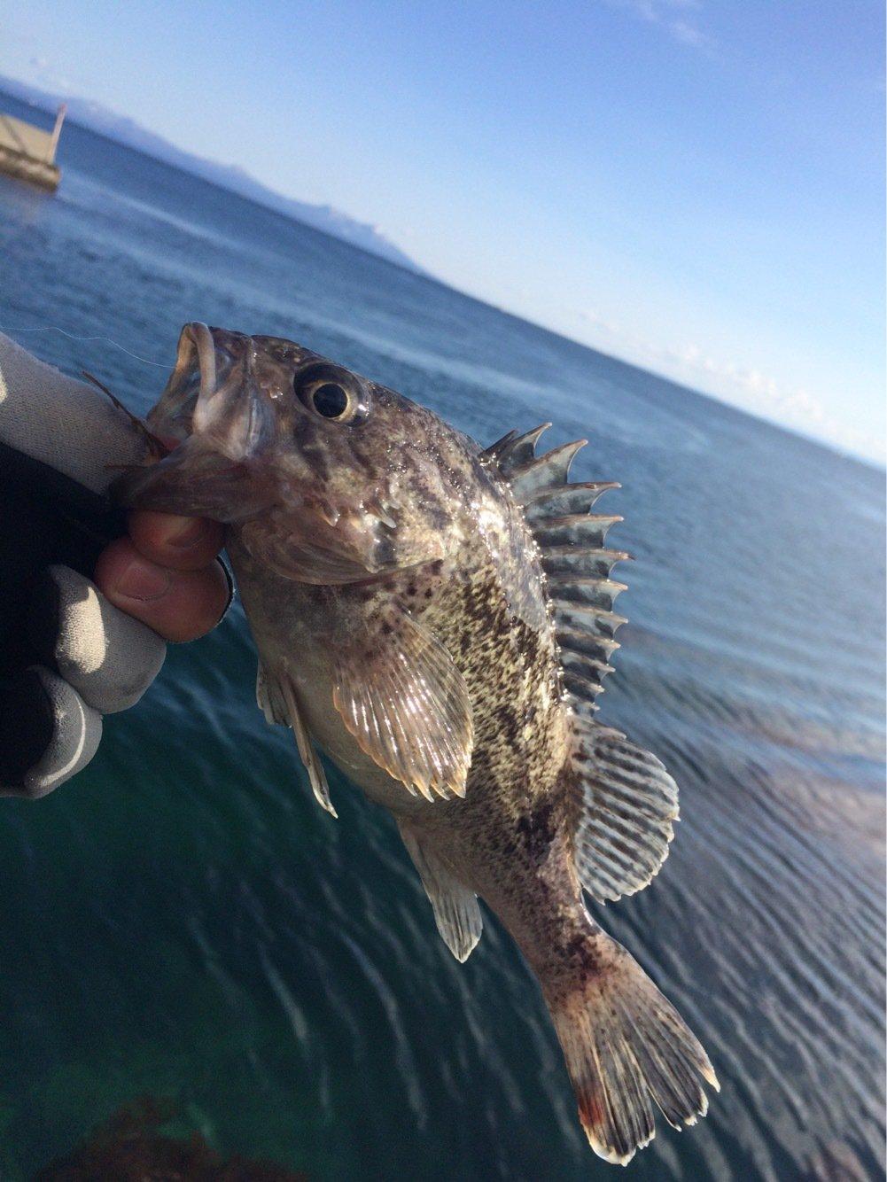 ささきょんさんの投稿画像,写っている魚はクロソイ