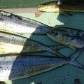 やまやまさんの鹿児島県南九州市でのシイラの釣果写真