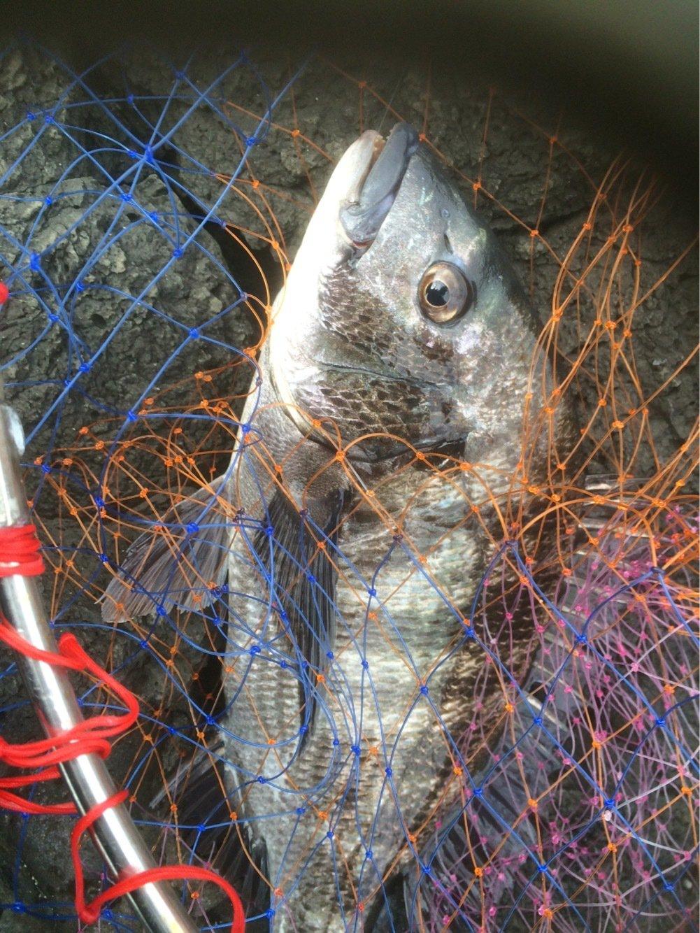 Tbsmanさんの投稿画像,写っている魚はクロダイ