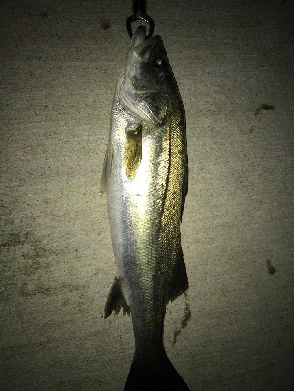 トラさんの投稿画像,写っている魚はスズキ