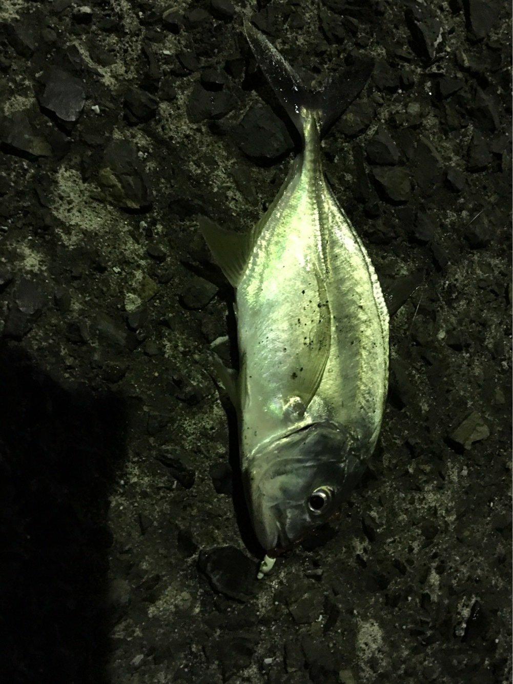 川島モーツァルトさんの投稿画像,写っている魚はロウニンアジ