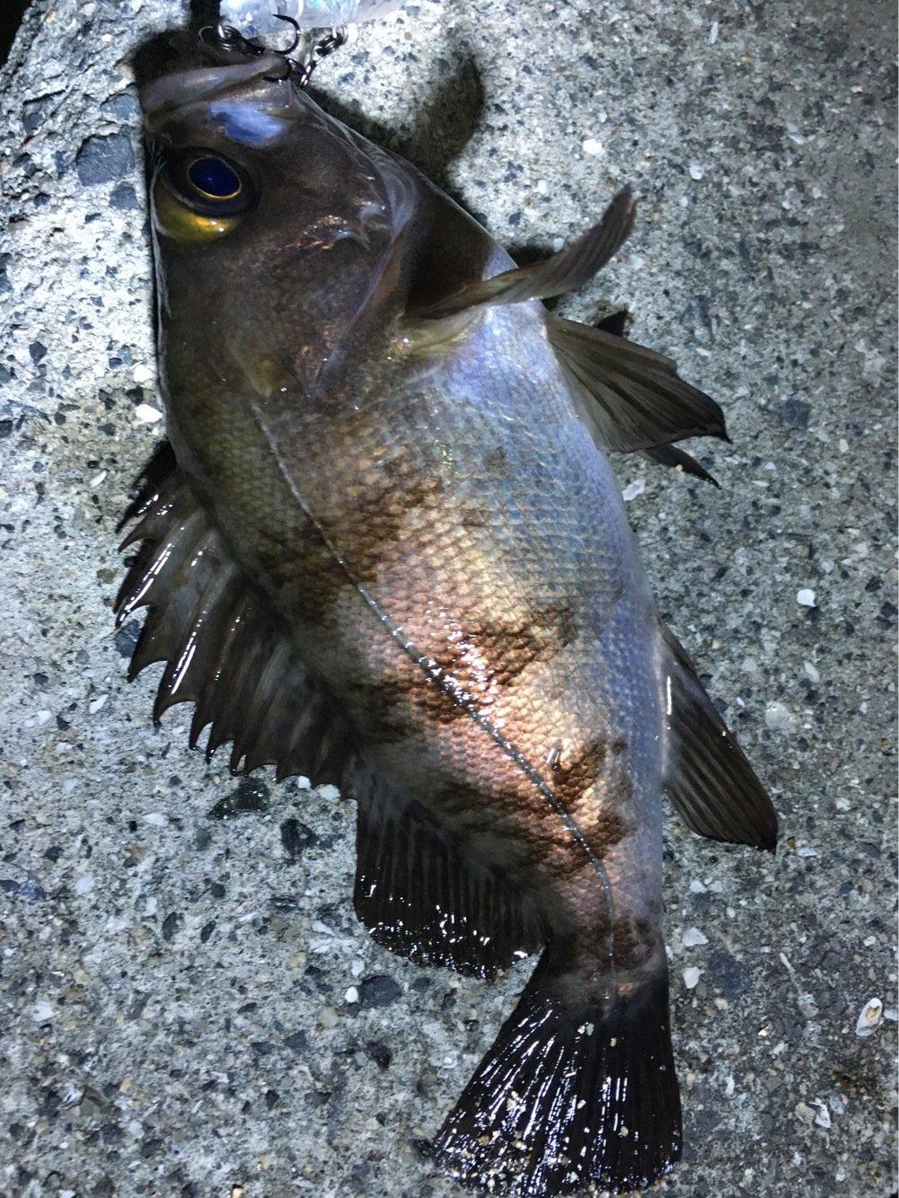 ヌーランさんの投稿画像,写っている魚はメバル